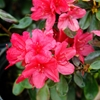 Evergreen Azalea Azalea 